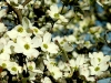 Early Spring, Flowering Dogwood, Cornus florida