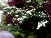 Kousa Dogwood and Flowering Plum