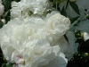 may-gardens-white-peonys