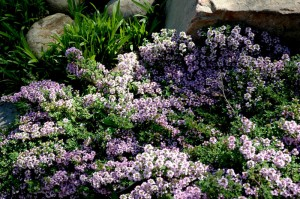Flowering Thyme in the herb garden
