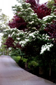 Kousa Dogwood and the reddish foliage in the background is a Flowering Plum Tree