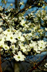 Flowering Dogwood, (Cornus florida)