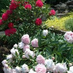 peonys-rhododendrons-cree