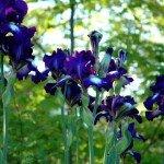 may-gardens-iriss
