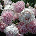 may-gardens-peonys