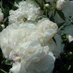 may-gardens-white-peonys