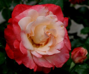 """Double Delight"" has always been one of my favorite roses."